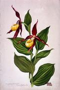 Cypripedium calceolus Watercolour by Barbara Everard
