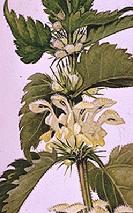 Lamium album flower stem watercolour by Barbara Everard