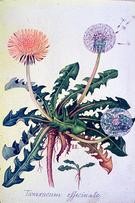 Taraxacum officinale watercolour by Barbara Everard