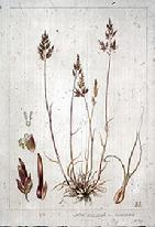 Poa bulbosa var vivipara watercolour by Barbara Everard (1970)