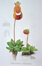Barbara Everard watercolour of Calceolaria darwinii