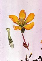 Oxalis corniculata flower watercolour by Barbara Everard