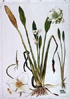 Sagittaria heterophylla watercolour by Barbara Everard