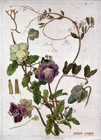 Barbara Everard watercolour of Cobaea scandens