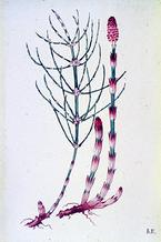 Equisetum arvense watercolour by Barbara Everard