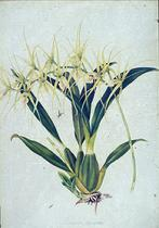 Barbara Everard watercolour of Brassia varicosa