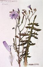 Barbara Everard watercolour of Lactuca perennis