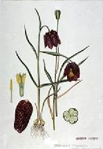 Fritillaria meleagris watercolour by Barbara Everard