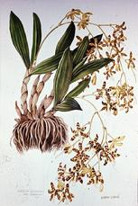 Barbara Everard 1970 watercolour of Anselia gigantea var. azanica