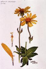 Barbara Everard watercolour of Arnica montana - alpina