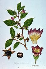 Atropa belladona watercolour by Barbara Everard