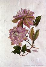 Barbara Everard watercolour of Clematis 'Belle of Woking'