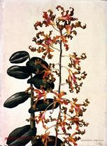 Barbara Everard watercolour of Dendrobium bicolor