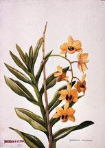Barbara Everard 1947 watercolour of Dendrobium moschatum