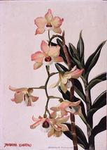 Barbara Everard watercolour of Dendrobium pulchellum