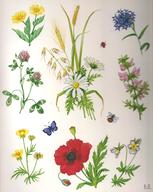 Flowers of the Cornfield Medici print of watercolour painting