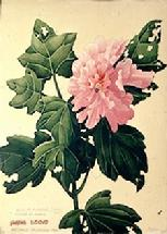 Barbara Everard watercolour of Hibiscus mutabilis (pink)