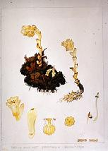 Monotropa hypophega watercolour by Barbara Everard