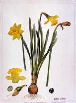 Narcissus obvallaris watercolour by Barbara Everard