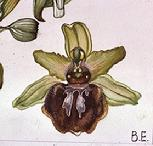 Ophrys spegodes flower watercolour by Barbara Everard