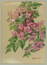 Watercolour painting of Bougainvillaea