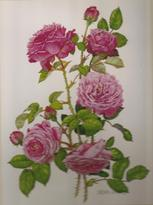 Pink Cottage Rose Medici print of watercolour painting