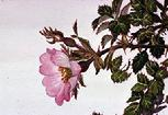 Rosa eglanteria flower watercolour by Barbara Everard