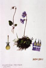 Barbara Everard watercolour of Soldanella montana