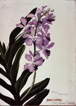 Barbara Everard 1948 watercolour of Vanda coerulea from Jemiana Seremban