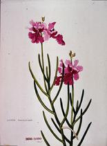 Barbara Everard 1948 watercolour of Vanda hookeriana