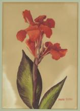 Watercolour painting of a Canna