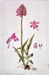 Anacamptis pyramidalis watercolour by Barbara Everard