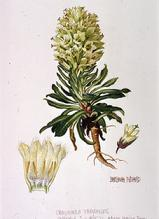 Barbara Everard watercolour of Campanula thrysoides