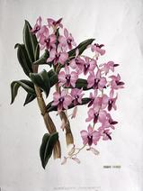 Barbara Everard watercolour of Dendrobium phalaenopsis