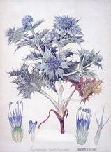 Eryngium maritimum watercolour by Barbara Everard