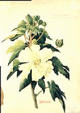 Barbara Everard watercolour of Hibiscus mutabilis (white)