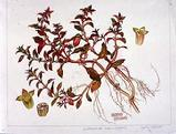 Ludwigia palustris watercolour by Barbara Everard