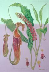 Barbara Everard watercolour of Nepenthes rafflesiana