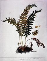 Polypodium vulgare watercolour by Barbara Everard