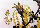 Quercus cerris flowers watercolour by Barbara Everard