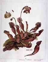 Sarracenia purpurea watercolour by Barbara Everard