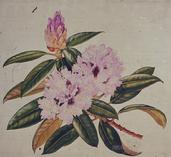 Barbara Everard watercolour of Rhodendron 'Blue Peter'