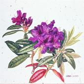 Barbara Everard watercolour of Rhodendron 'Purple Splendour'
