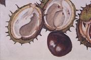 Horse Chestnut fruit and shell