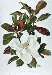 Barbara Everard watercolour of Dionaea musipula fruitsMagnolia grandiflora