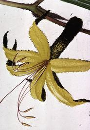 Barbara Everard watercolour of Anigozanthus fumosa  'Black Kangaroo Paw' flower