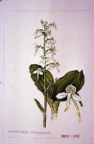 Platanthera bifola chlorantha watercolour by Barbara Everard