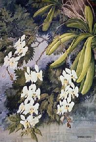 Barbara Everard watercolour of Phalaenopsis grandiflora