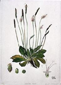Plantago mediar watercolour by Barbara Everard