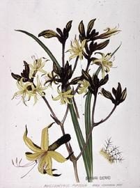 Barbara Everard watercolour of Anigozanthus fumosa  'Black Kangaroo Paw'